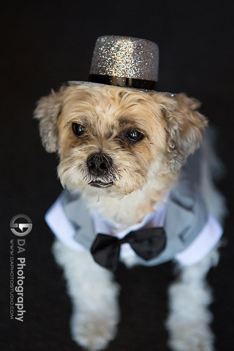 Dog dress in wedding attire on a wedding day